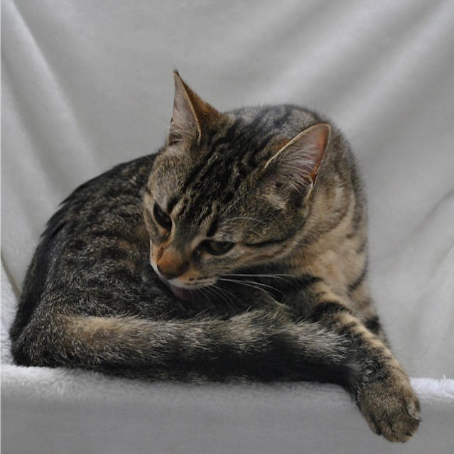 Janet, femelle type européenne tigrée, née le 15 juin 2014 - Page 5 _dsc0035