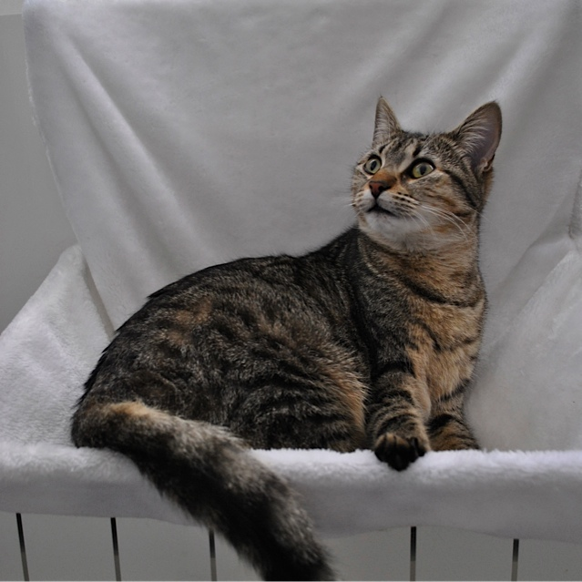 Janet, femelle type européenne tigrée, née le 15 juin 2014 - Page 5 _dsc0036