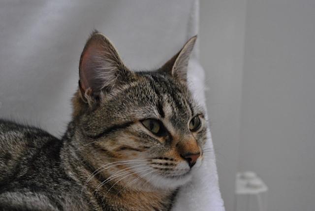 Janet, femelle type européenne tigrée, née le 15 juin 2014 - Page 5 _dsc0039