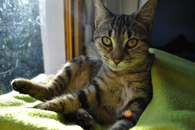 Janet, femelle type européenne tigrée, née le 15 juin 2014 - Page 4 _dsc0111