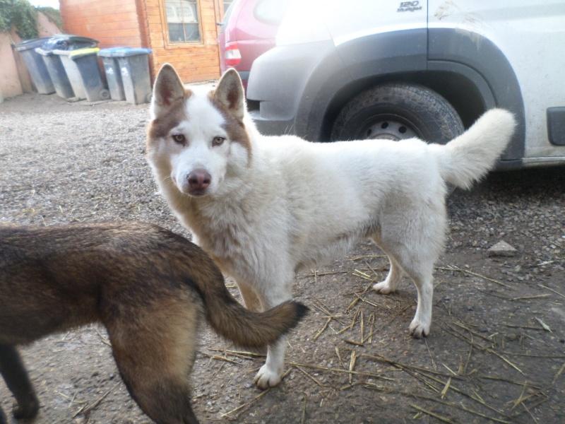 Hulko mâle husky né le 15/09/2012 PART60 - Page 2 Sam_2512