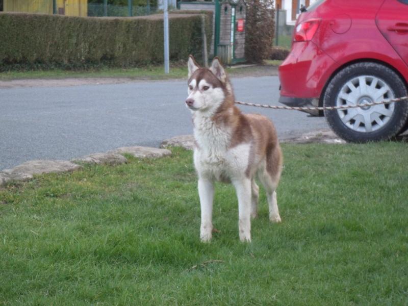 Jaze Husky femelle née le 28/01/2014 PART60  ADOPTEE Sam_2613