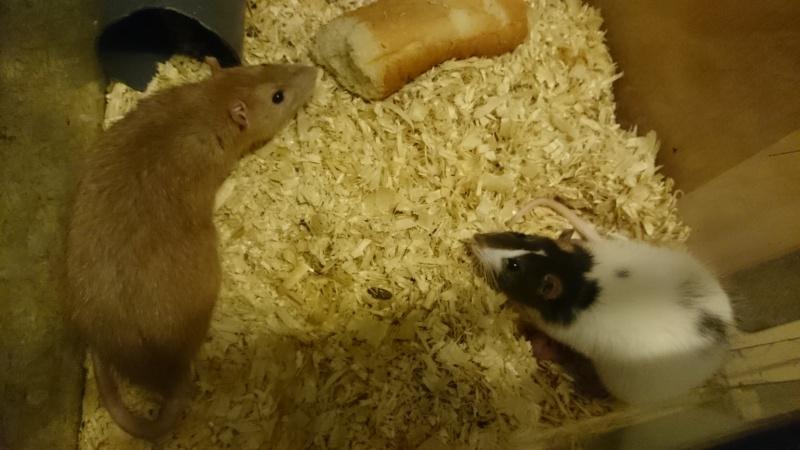 Mes rats et une surprise ce matin Dsc_0110