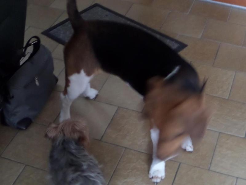 Besoin de votre aide pour Ioko, femelle beagle de deux ans - Page 2 00810