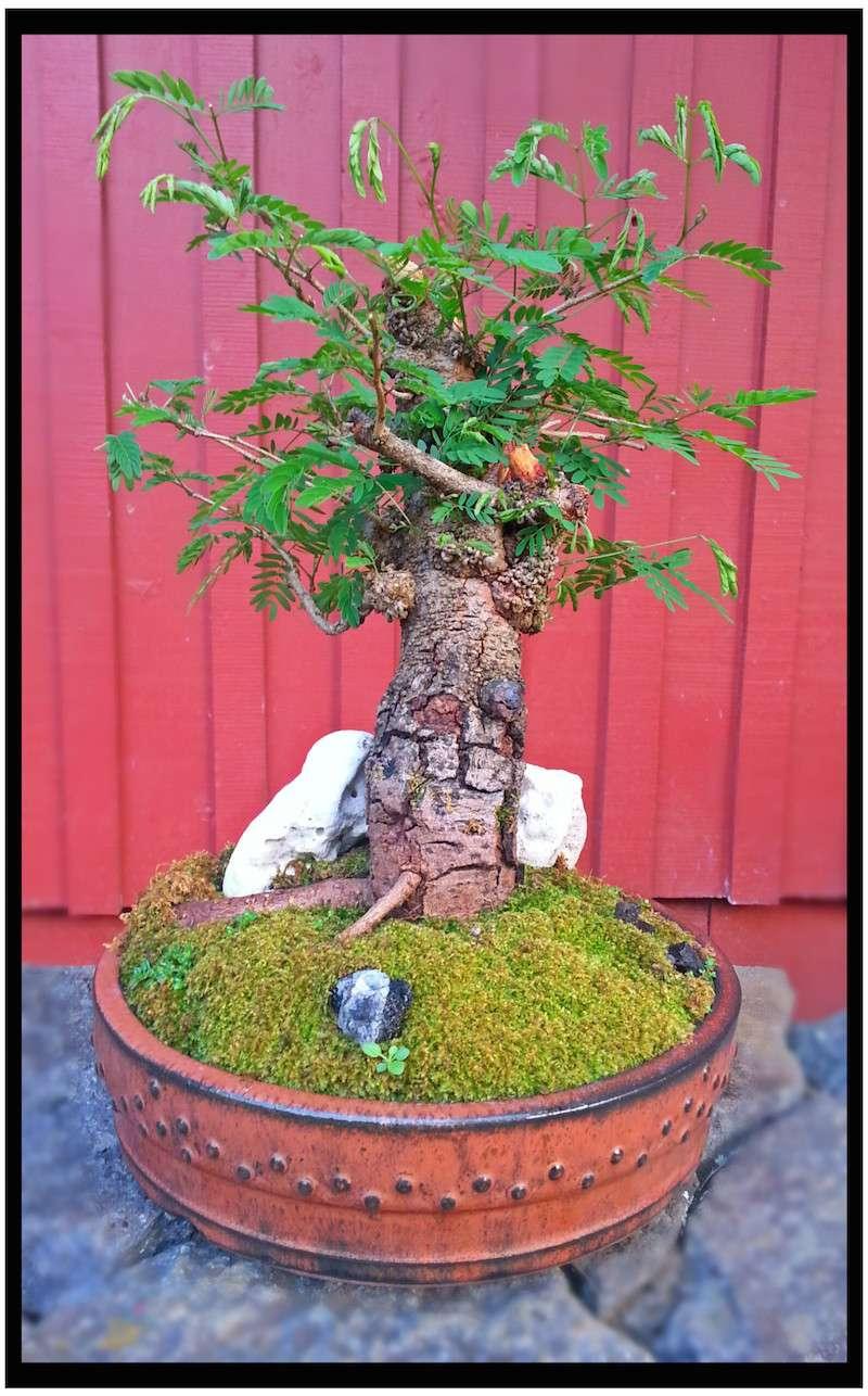 Leucaena Leucocephala (aka Mimosa, Haole koa) progression from Yamadori 14219411