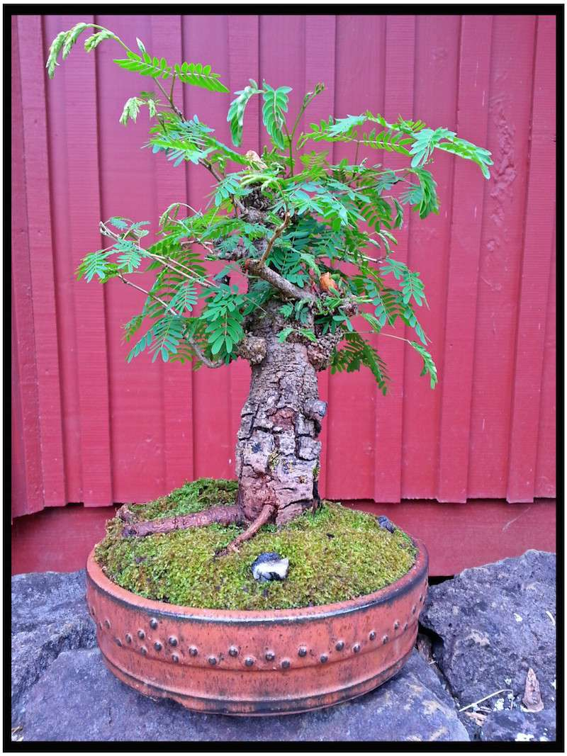 Leucaena Leucocephala (aka Mimosa, Haole koa) progression from Yamadori 14221411