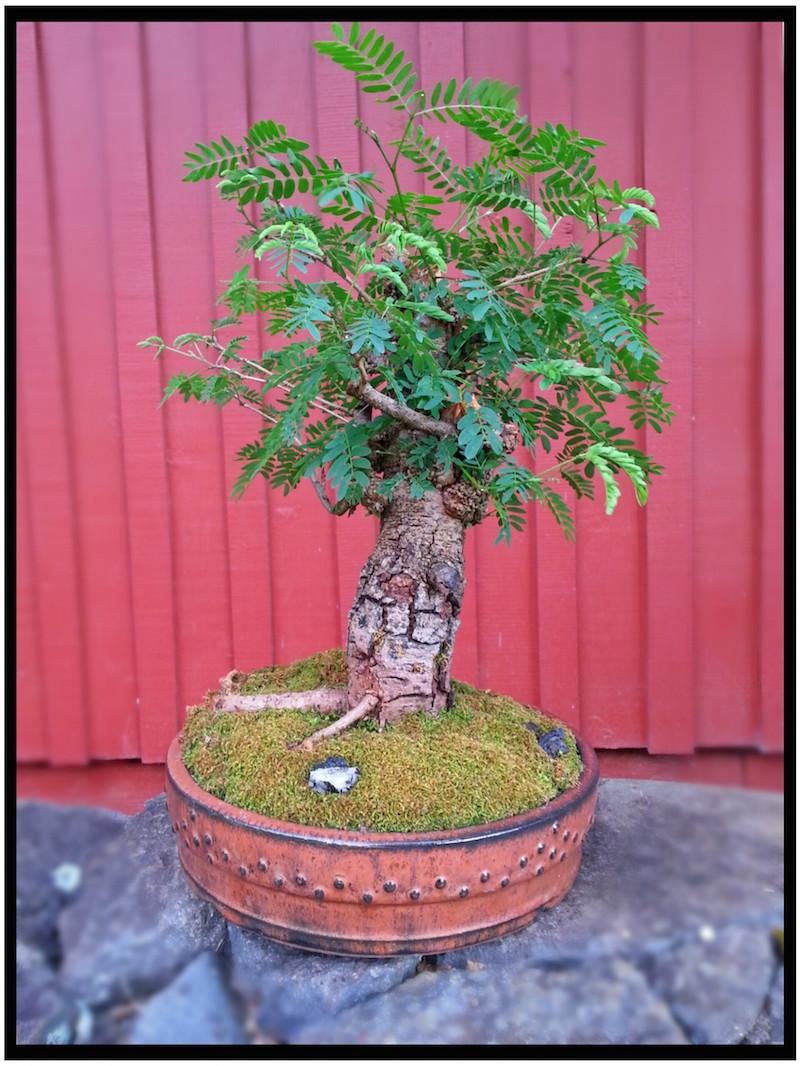 Leucaena Leucocephala (aka Mimosa, Haole koa) progression from Yamadori 14235010