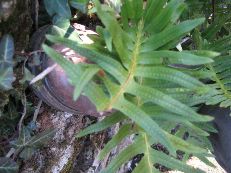 Est-ce que ça peut être Polypodium cambricum ? Img_0532