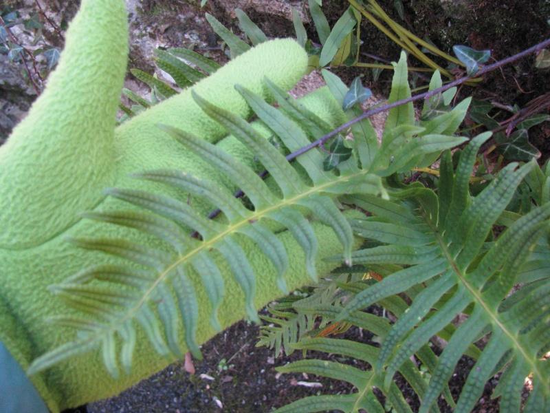 Est-ce que ça peut être Polypodium cambricum ? Img_0533