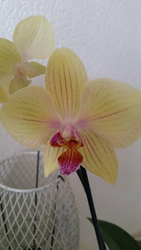 Identification phalaenopsis!!! Orchid10