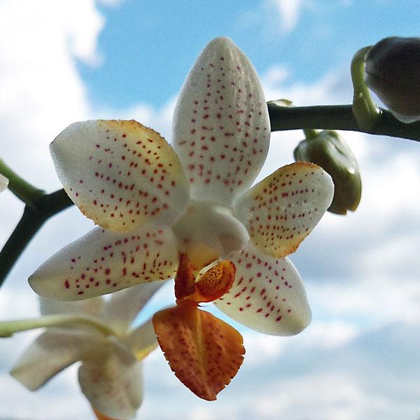 Phalaenopsis Mini Mark - Seite 3 Minima10