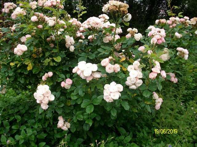 Rosa 'Bouquet Parfait' !!! - Page 9 Bouque10