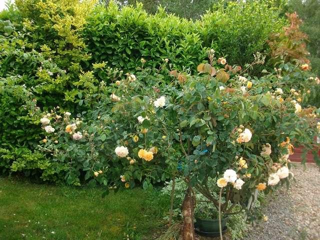 Rosa 'Buff Beauty' !!! - Page 7 Buff_b10