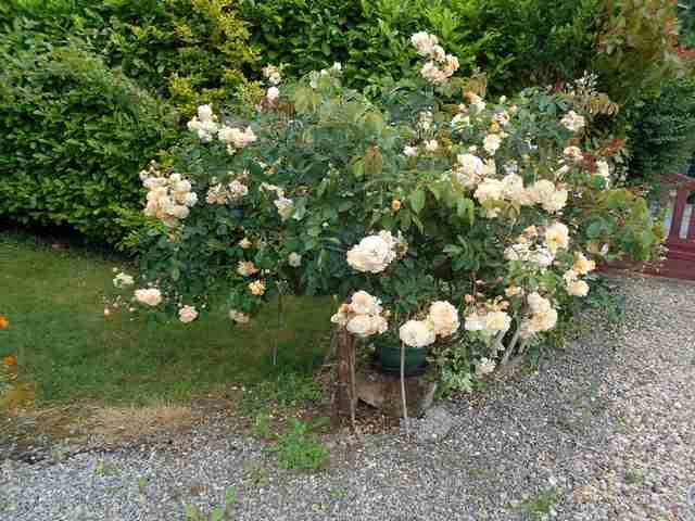 Rosa 'Buff Beauty' !!! - Page 7 Buff_b12