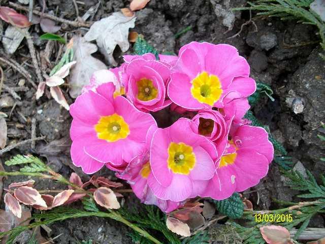 Primula..........aimez-vous les coucous ??? Imgp0050