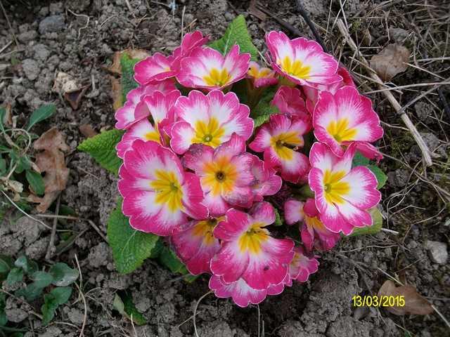 Primula..........aimez-vous les coucous ??? Imgp0051