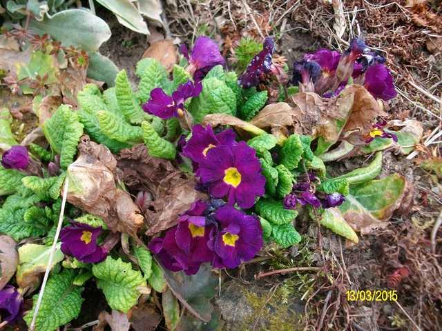 Primula..........aimez-vous les coucous ??? Imgp0052