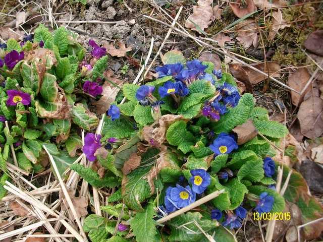Primula..........aimez-vous les coucous ??? Imgp0053