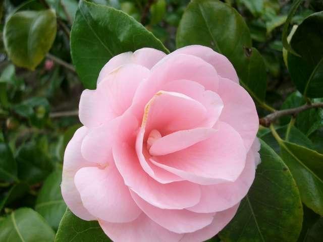 Camellia !!! Imgp0062