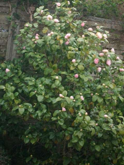 Camellia !!! Imgp0063