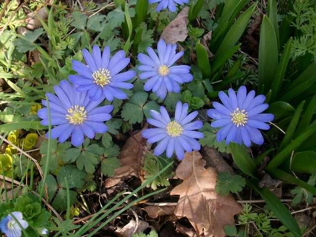 fleurs printanieres Imgp0080