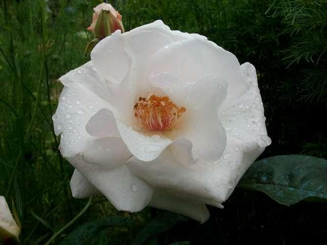 Rosa 'Maria Mathilda' Mai_0211
