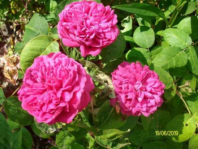 """Rosa """" Rose de Rescht """" - Page 2 Rose_d11"""