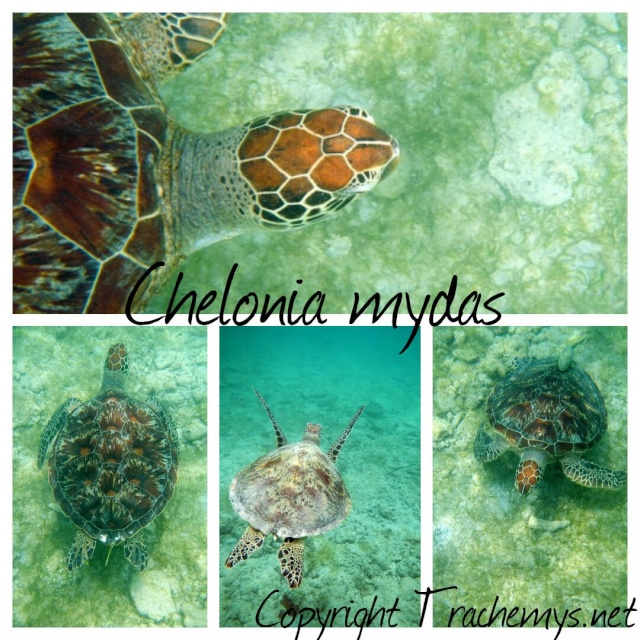 Tortues vertes (marines) à Mayotte 2014-122