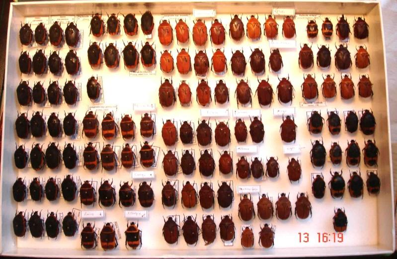 Collection de Pachnoda Dsc07411