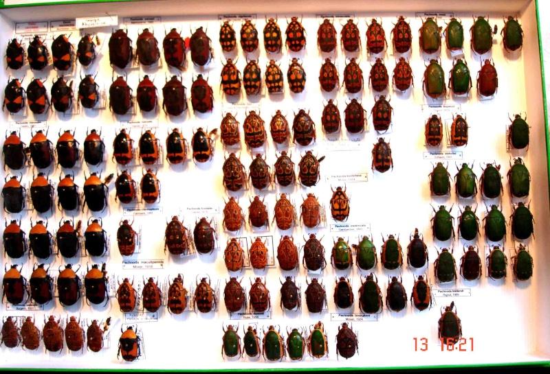 Collection de Pachnoda Dsc07412