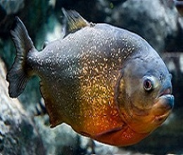 Poecilia sphenops Molly Piranh19
