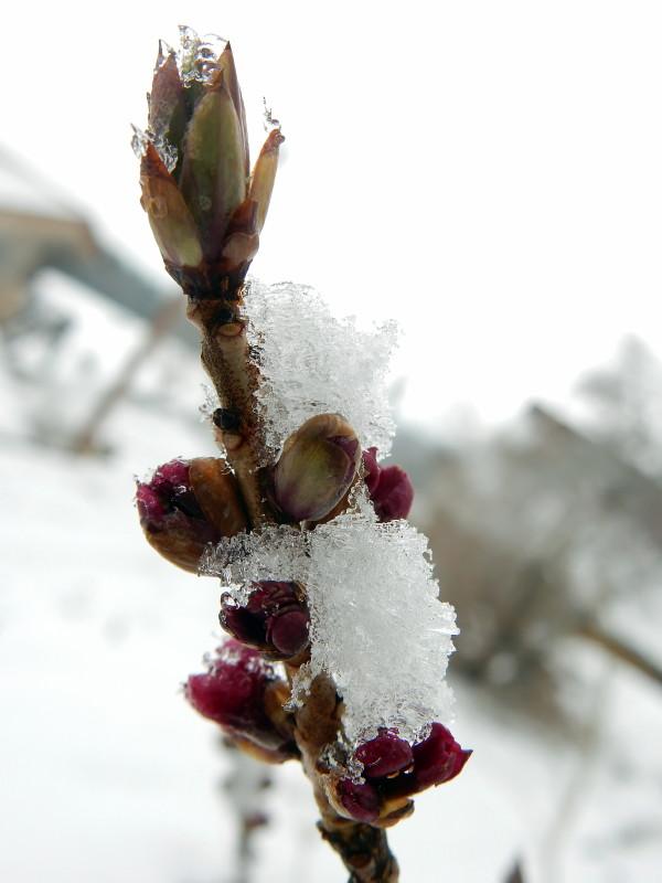 mon joli bois tente de fleurir sous la neige Dscn2714