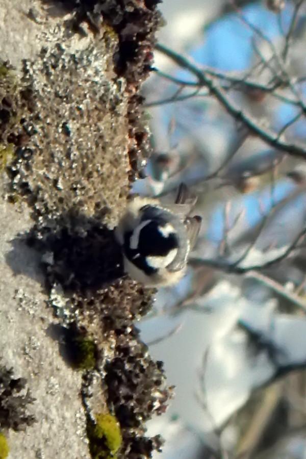 Mésange Noire (Parus ater) Mysang14