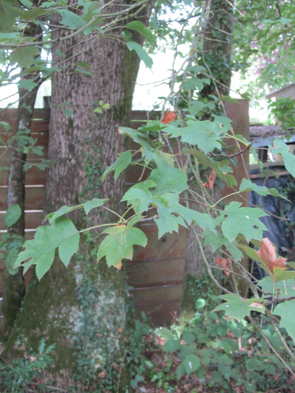 Apprendre à reconnaitre les arbres qui nous entourent - Page 2 Alisie10