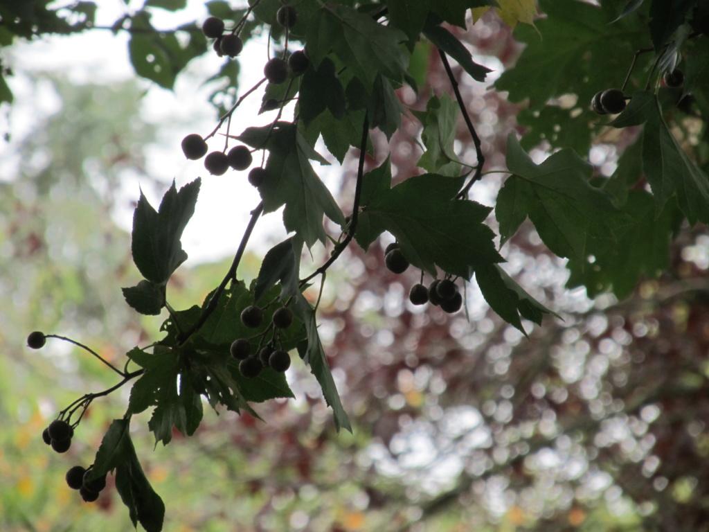 Apprendre à reconnaitre les arbres qui nous entourent - Page 2 Alisie14