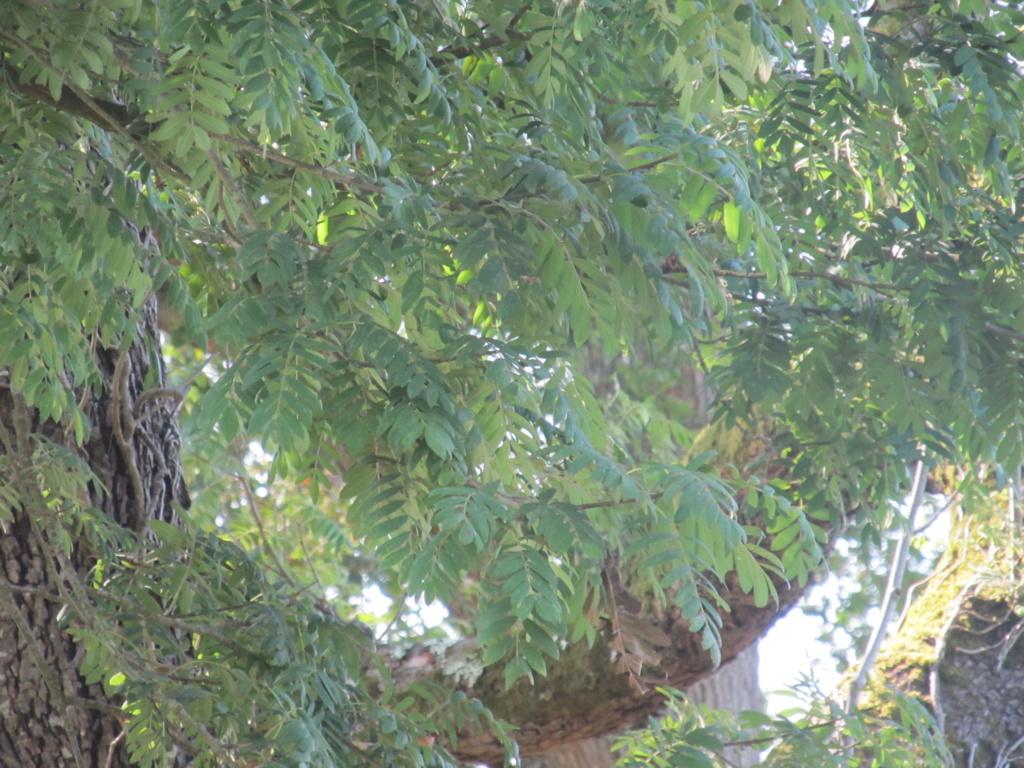 Apprendre à reconnaitre les arbres qui nous entourent Cormie10