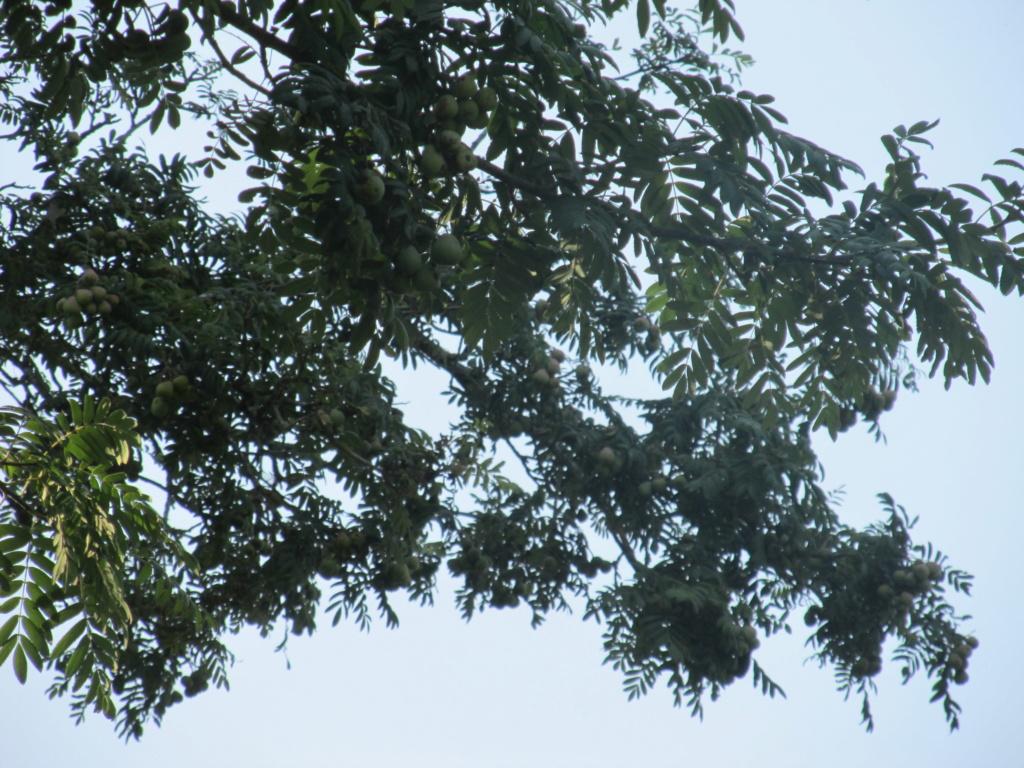 Apprendre à reconnaitre les arbres qui nous entourent Cormie11