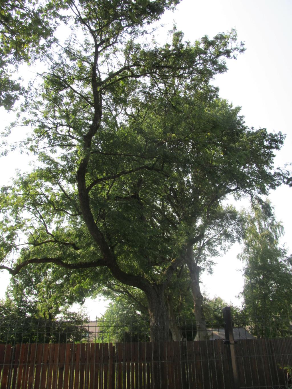 Apprendre à reconnaitre les arbres qui nous entourent Cormie12