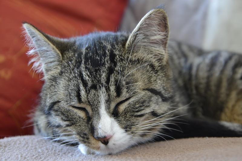 josette - Josette, chatonne tigrée type européen, née en juin 2014 _dsc6610
