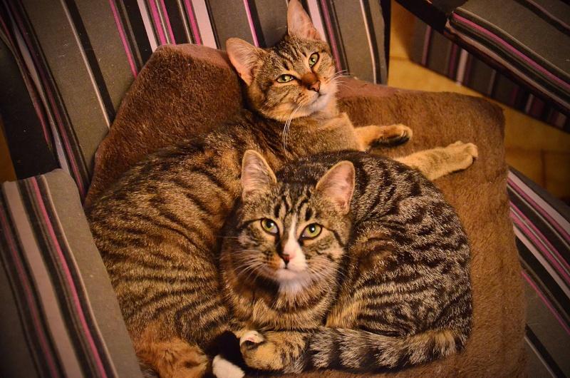 josette - Josette, chatonne tigrée type européen, née en juin 2014 Dsc_2412