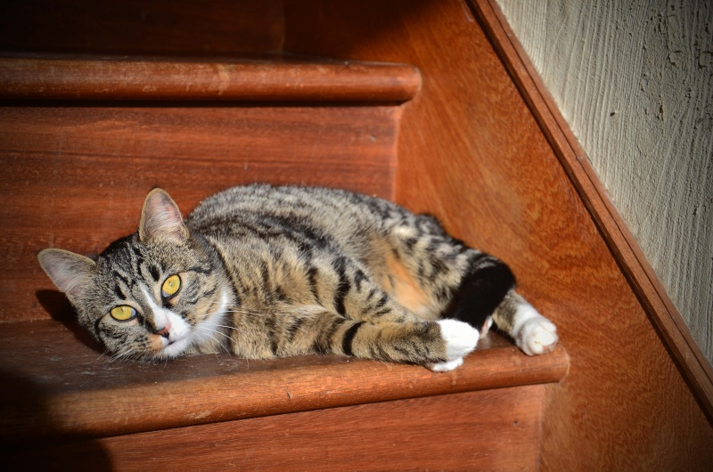 josette - Josette, chatonne tigrée type européen, née en juin 2014 Dsc_2514
