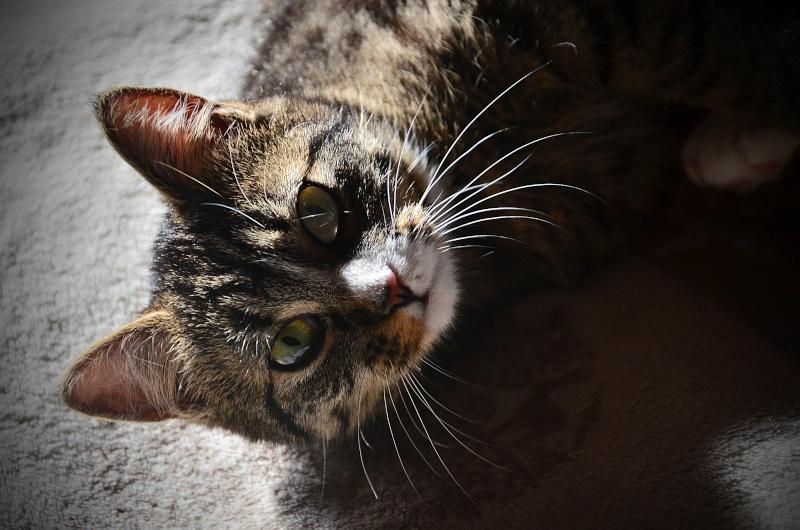 josette - Josette, chatonne tigrée type européen, née en juin 2014 Dsc_2612