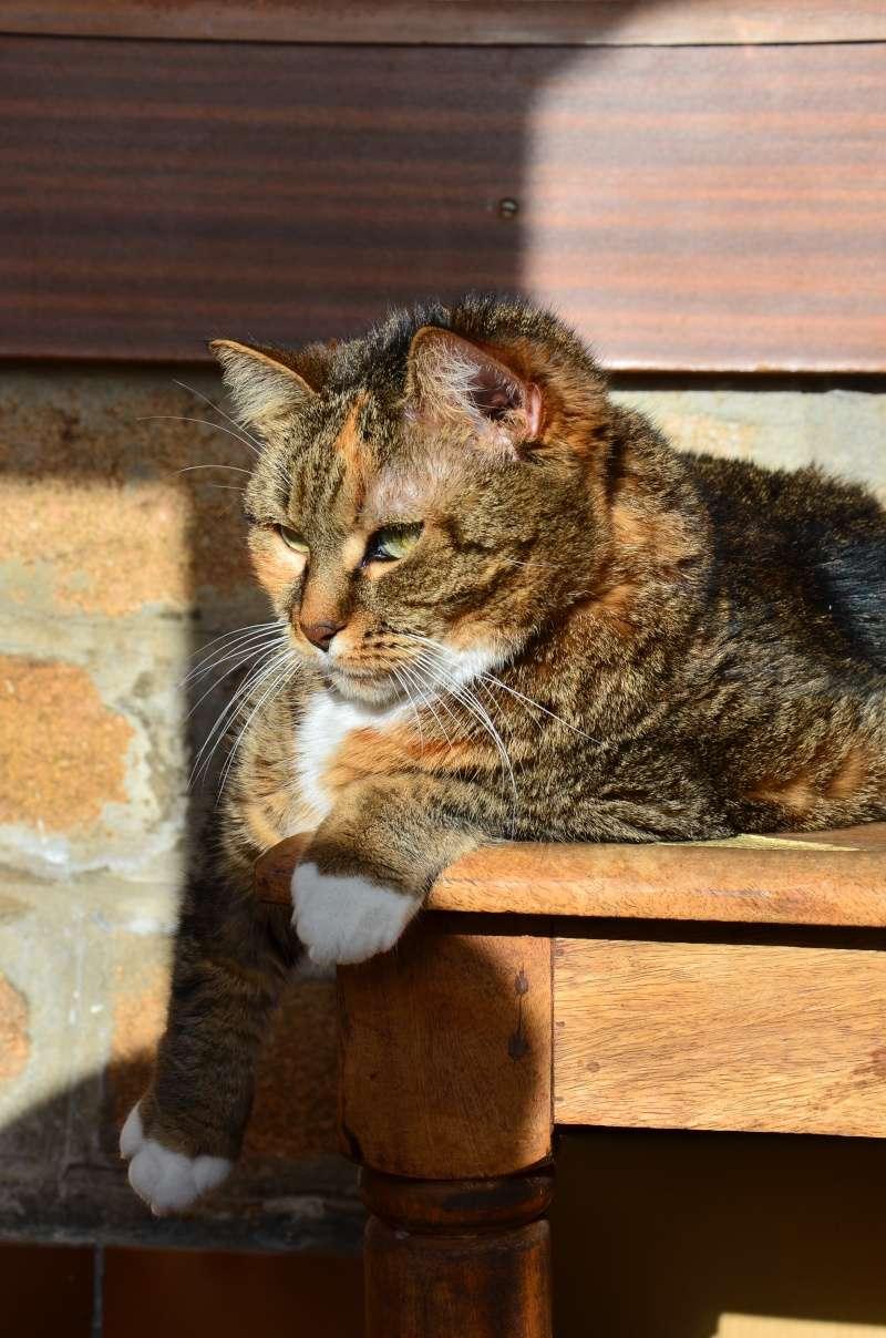 Marlone, femelle type européen tricolore, née en 2004 (frais d'adoption libres) Dsc_2911