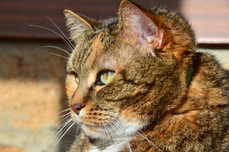 Marlone, femelle type européen tricolore, née en 2004 (frais d'adoption libres) Dsc_2912