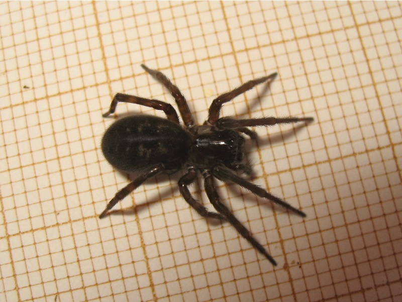 Féroce (Amaurobius ferox) Img_3811