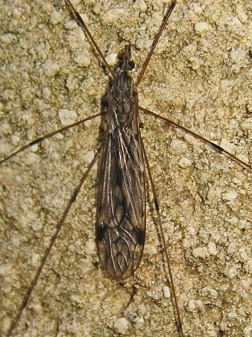 Tipula rufina Img_4111