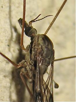 Tipula rufina Img_4112