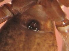 Bienvenue chez les culs-terreux (Trochosa terricola) Img_4318