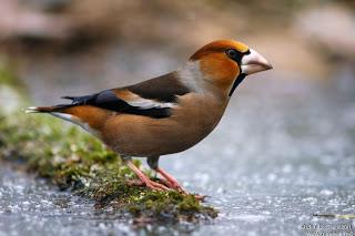 Un site sur les oiseaux... Gros_b10