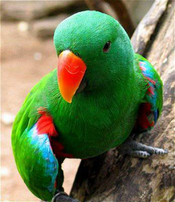 Missing Eclectus Parrot Sav510